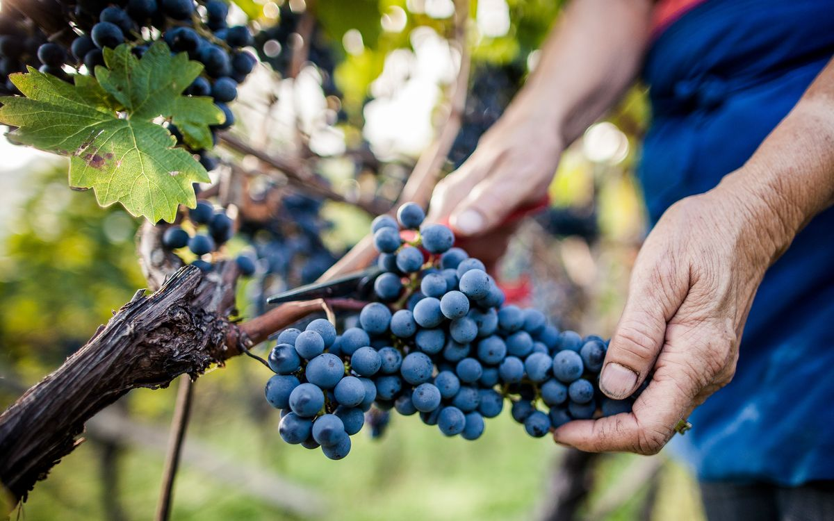 Harvest time in the wine village of Caldaro | Villa Pernstich modern apartments